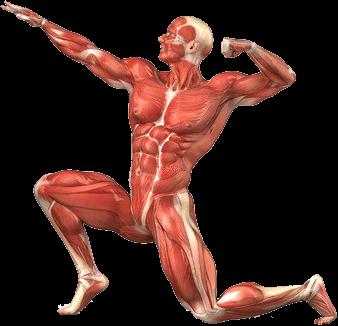 Muscles du corps